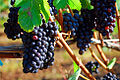 120px-Vineyard_Grapes_(Yamhill_County,_Oregon_scenic_images)_(yamDA0051a)